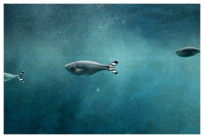poisson pavillon rayé ... Kuhlia mugil&#x3B; ordre des Perciformes,  famille des Kuhliidés