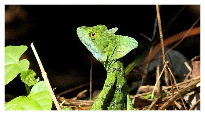 basilic vert ...  basiliscus plumifrons&#x3B; famille des Corytophanidés &#x3B; lieu : Tortuguero