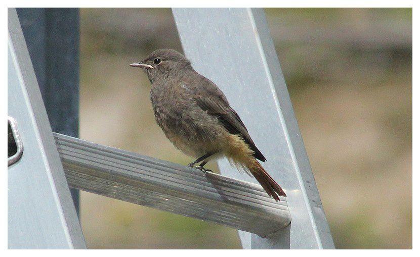 rougequeue noir ... Phoenicurus ochruros&#x3B; Ordre des Passeriformes, Famille des Muscicapidés