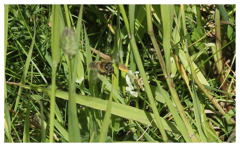 abeille européenne ...  Apis mellifera&#x3B; ordre des hyménoptères, famille des apidés