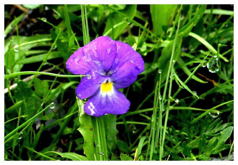 pensée des alpes  ... Viola calcarata&#x3B; famille des Violacées