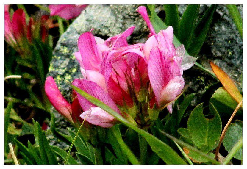 astragale ... Astragalus sinicus (à confirmer): famille des Fabacées