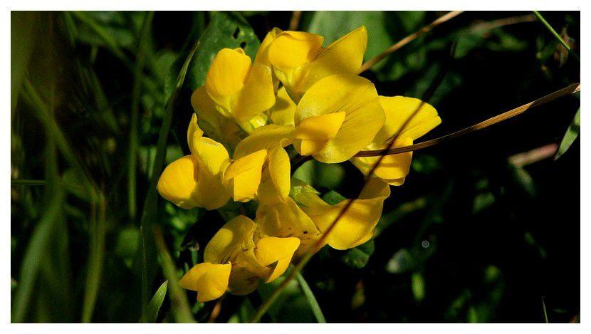 Lotier des Alpes ... Lotus alpinus&#x3B; Famille des Fabacées
