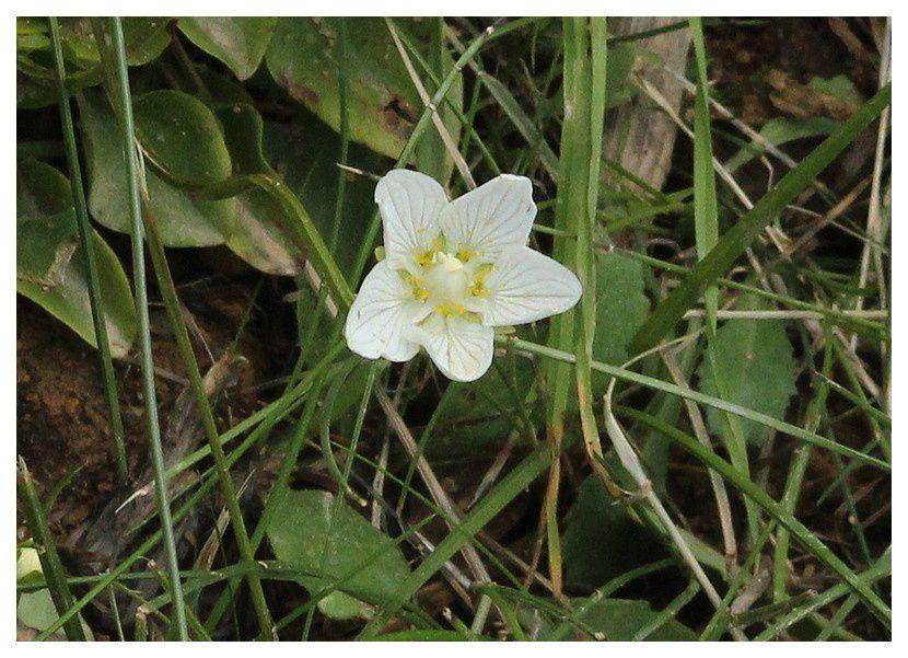 Parnassie des marais  ... Parnassia palustris&#x3B; famille des Célastracées