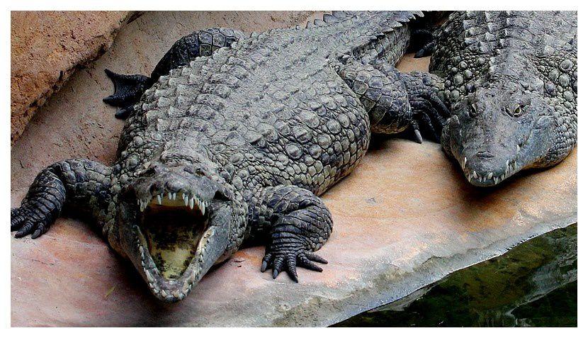 crocodile d'afrique de l'ouest ... Crocodilus suchus (Geoffroy, 1807)