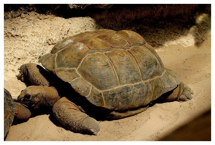 tortue géante des Seychelles ...  Aldabrachelys gigantea  (Schweigger, 1812).
