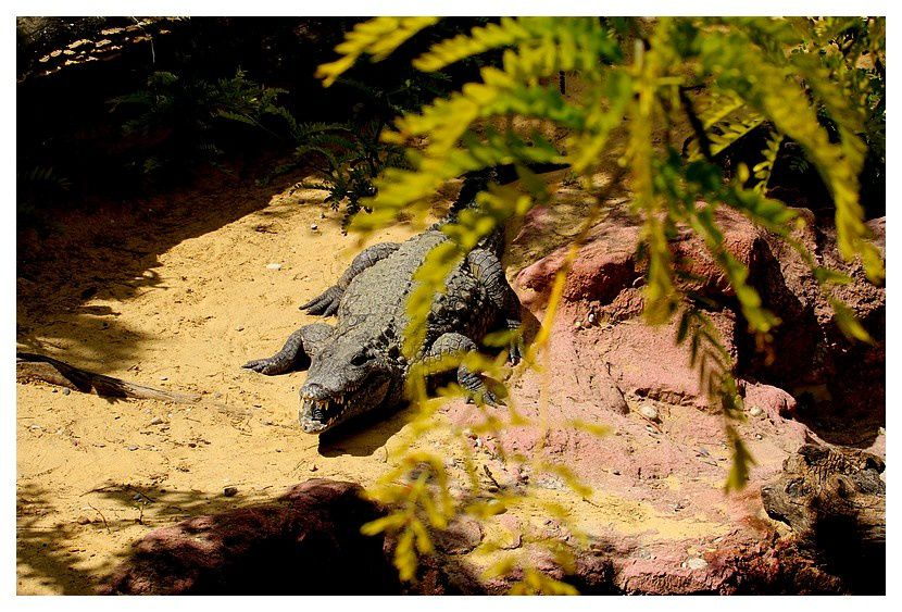 caiman noir ... Melanosuchus niger (Spix, 1825). à confirmer