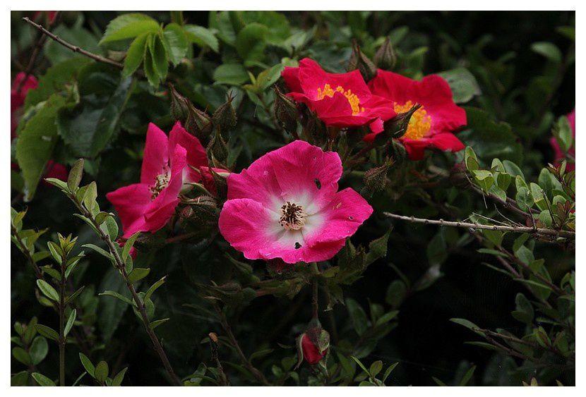 rose sauvage églantine