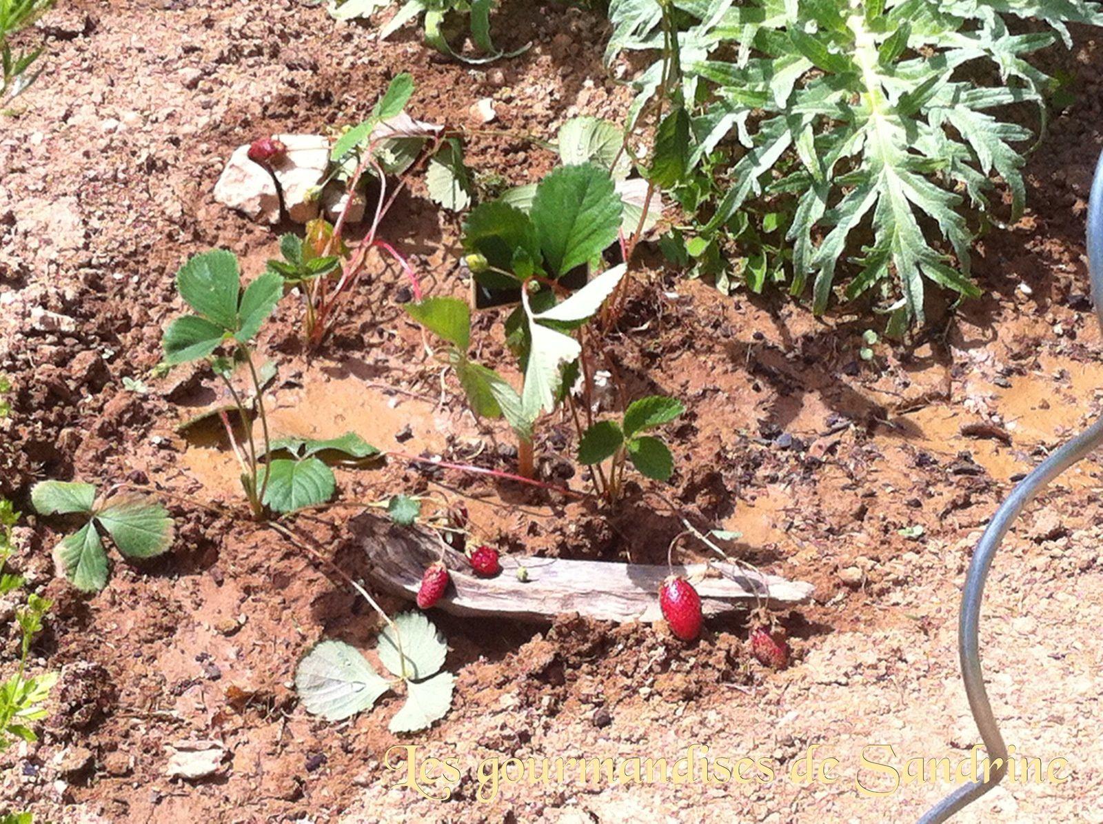 Au potager 2 - Comment cueillir des fraises ...