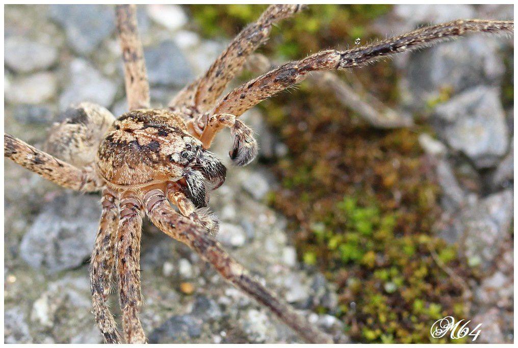 Araignée : Zoropsis spinimana
