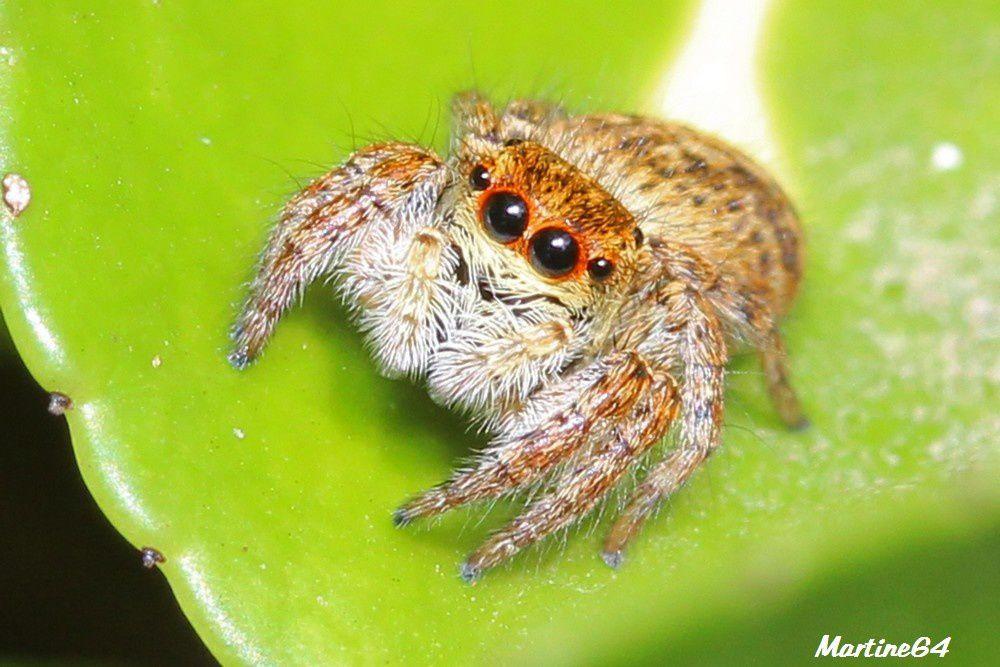 Araignée : Carrhotus xanthogramma