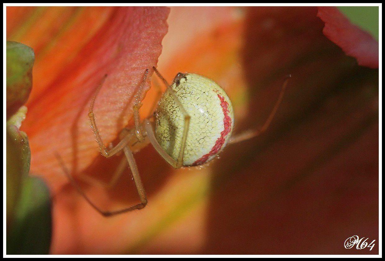 Araignée : Enoplognatha ovata
