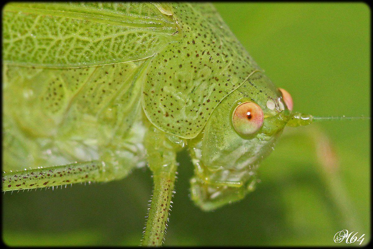 Sauterelle : Phaneroptera nana