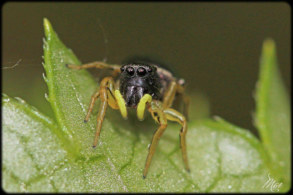 Les araignées sauteuses : les Salticidae