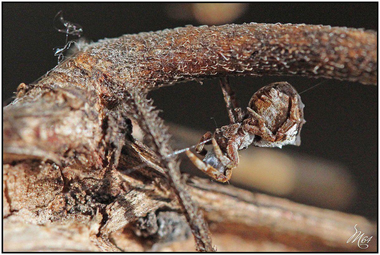 Araignée : Hyptiotes