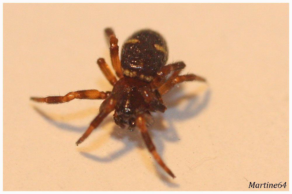 Araignée : Steatoda phalerata