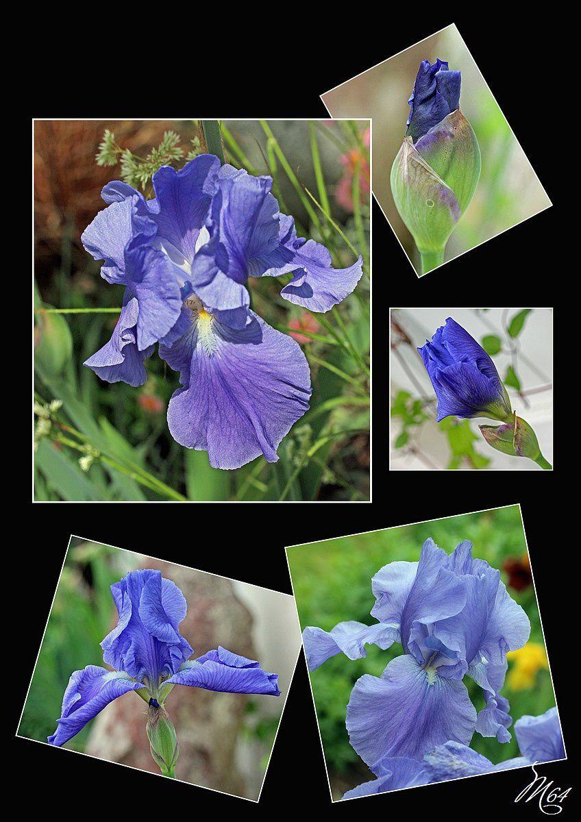 Fleurs d'iris 02