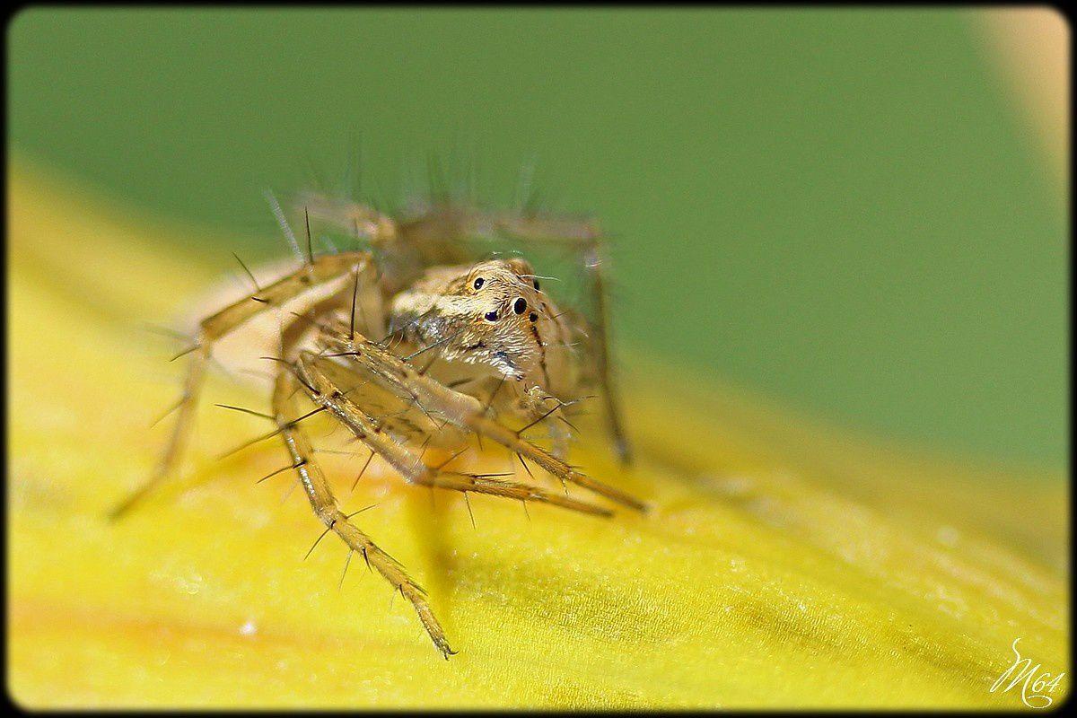 Araignée : Oxyopes ou &quot&#x3B;araignée-lynx&quot&#x3B;