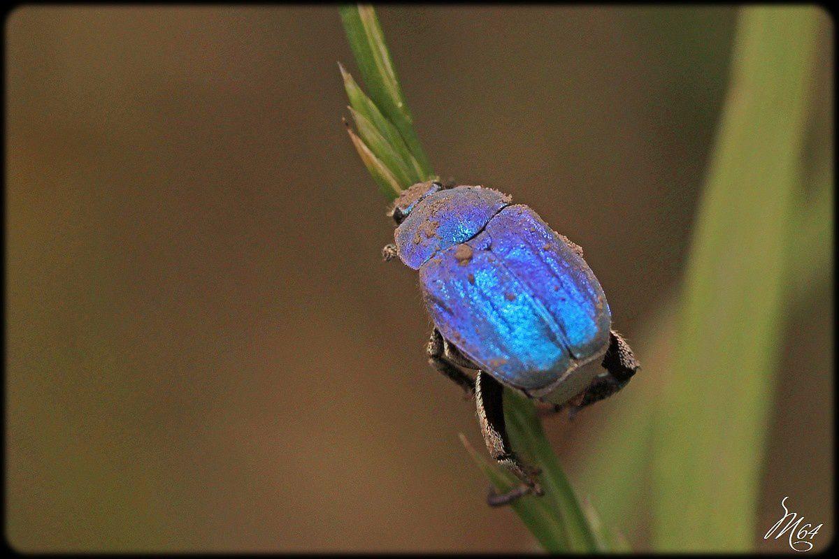 Insecte : l' Hoplie bleue