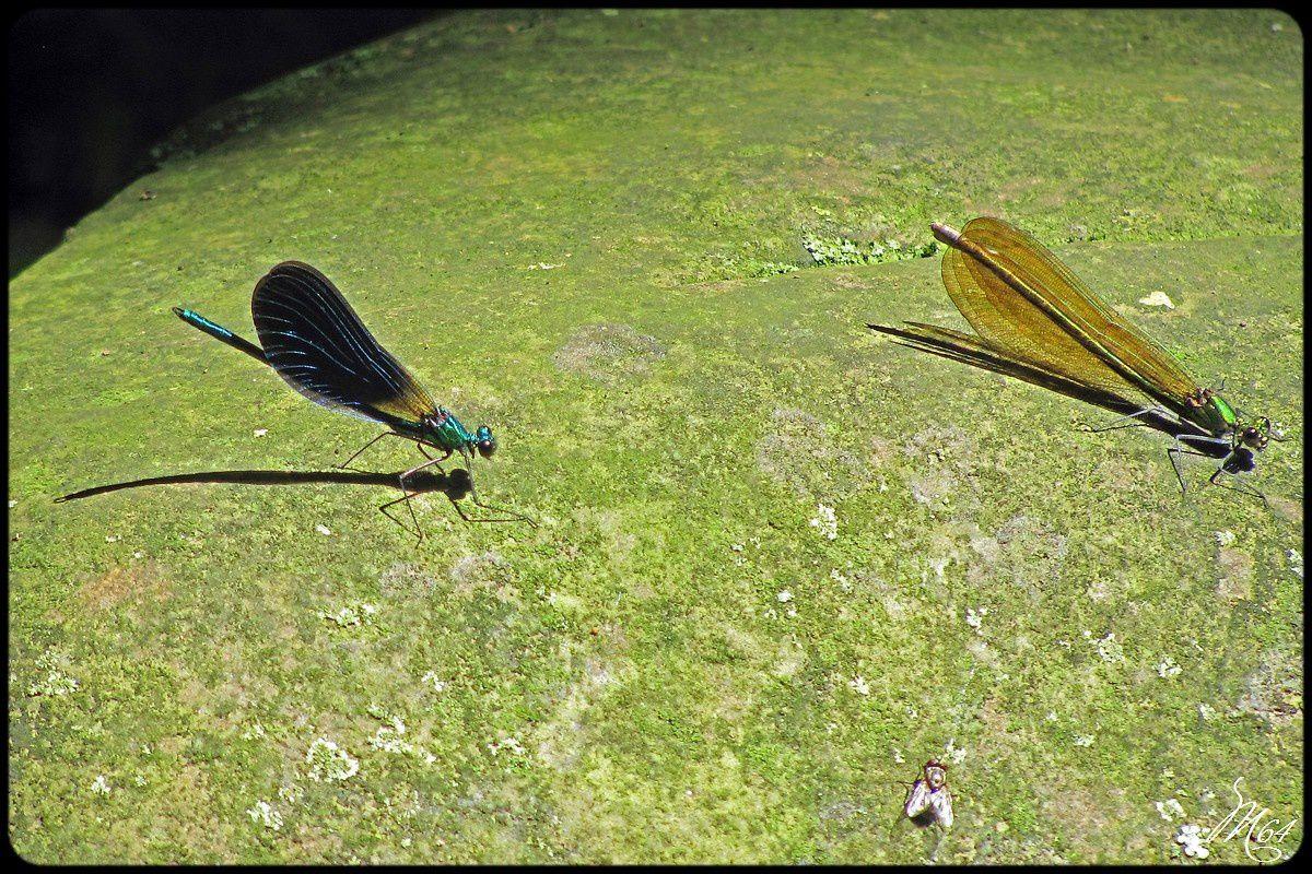 Les demoiselles : Caloptéryx