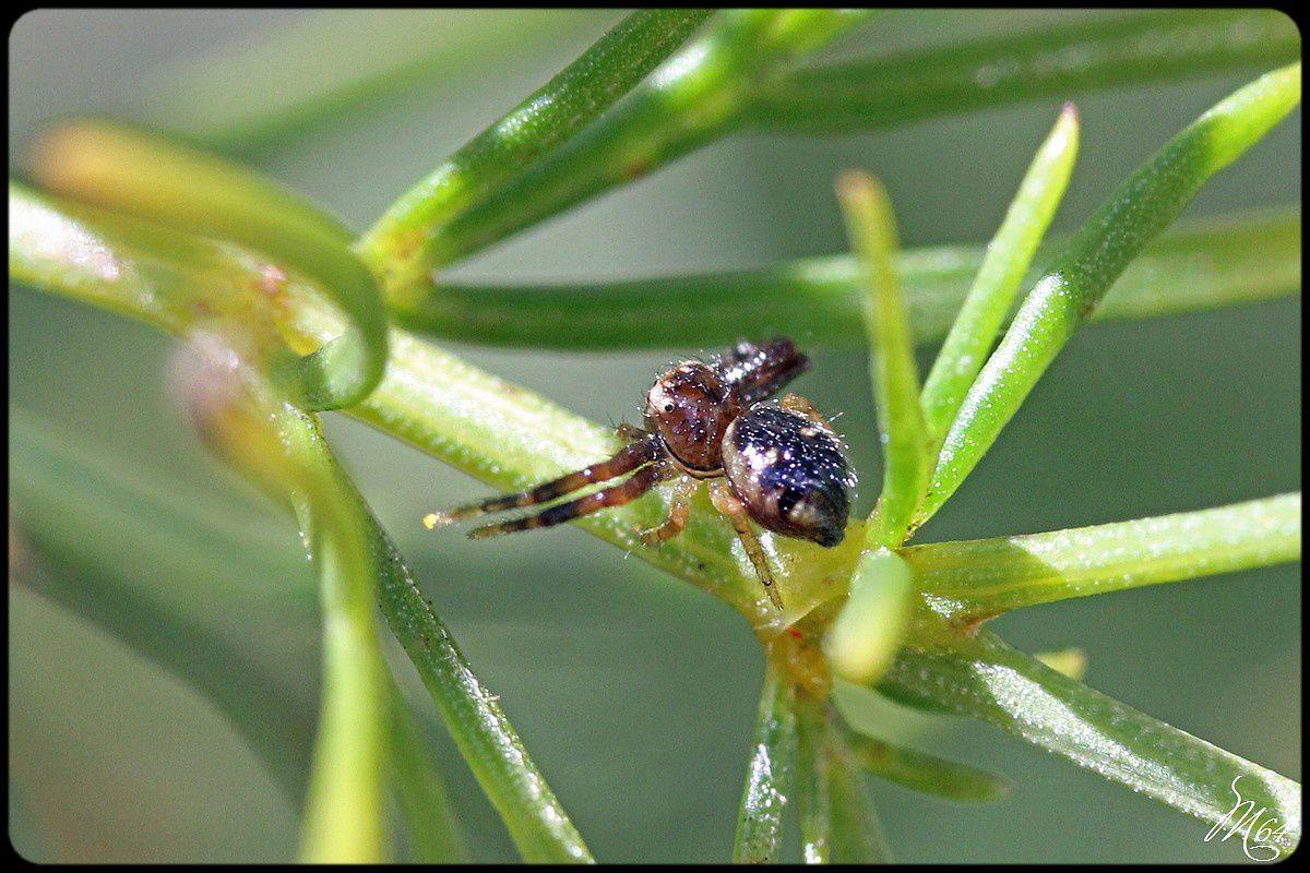 Araignée : Synema globosum