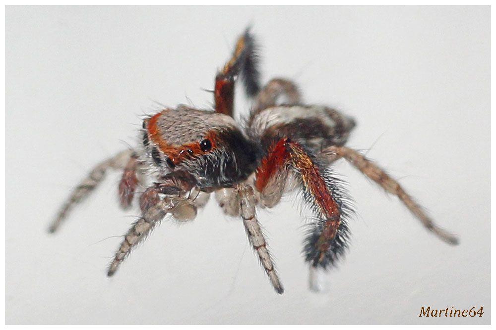 Araignée sauteuse : Saitis barbipes