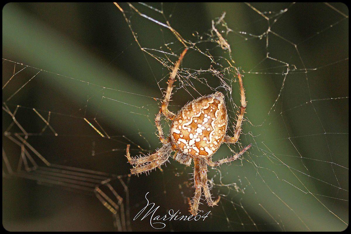 Araignée : Epeire diadème
