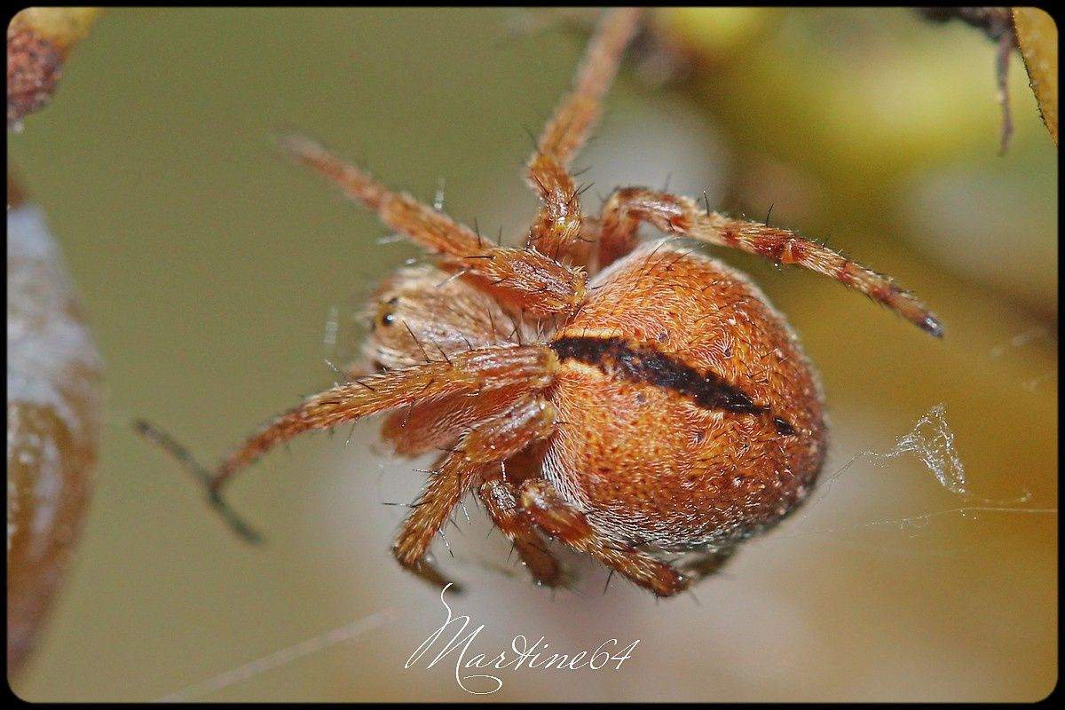 Araignée : Epeire de velours