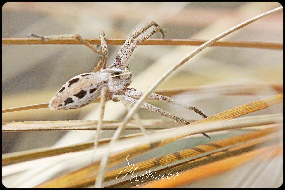 Araignée : Pisaure admirable