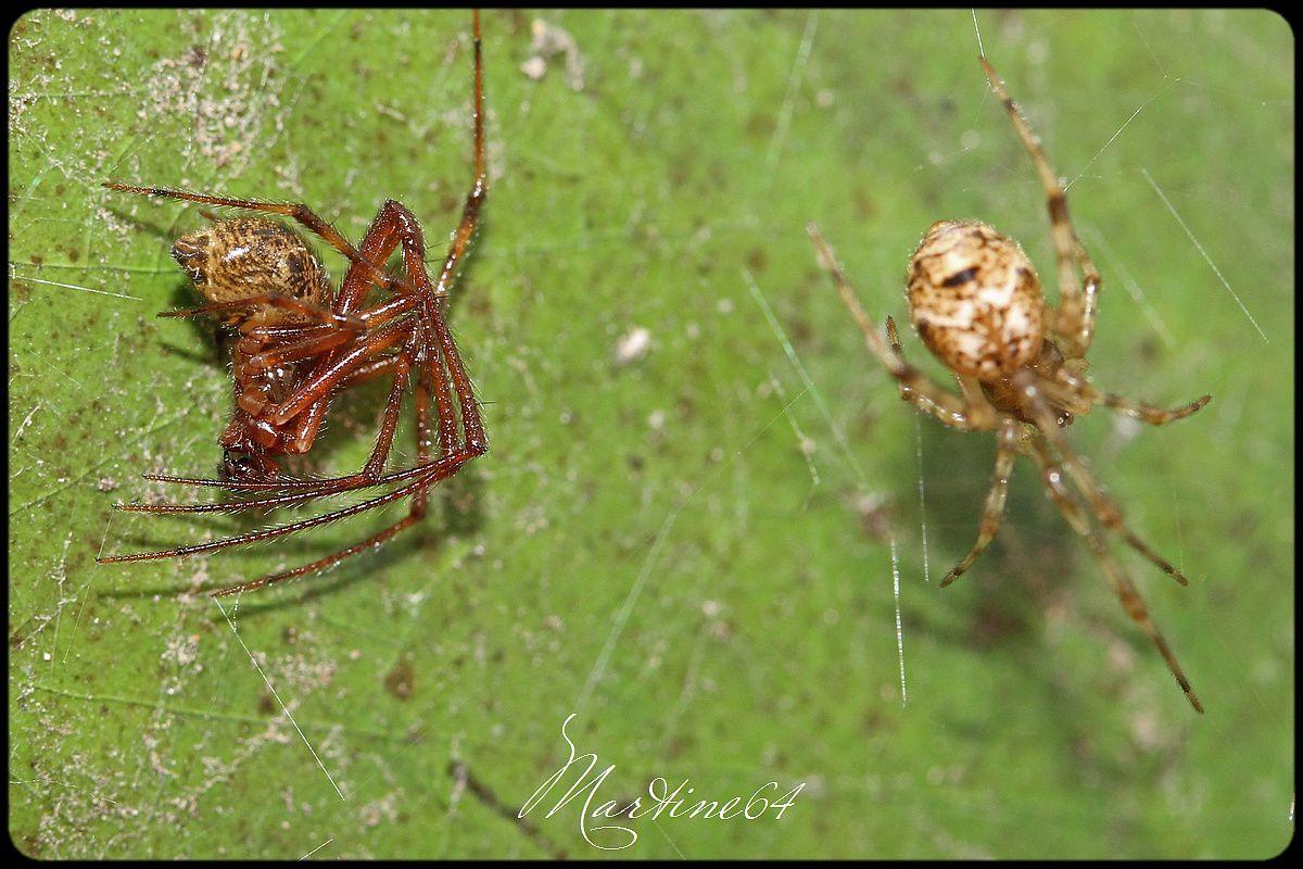Araignées : Parasteatoda