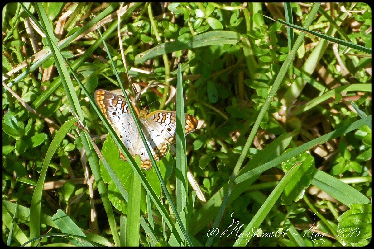 Cuba papillon ( 1 ) : Anartia jatrophae