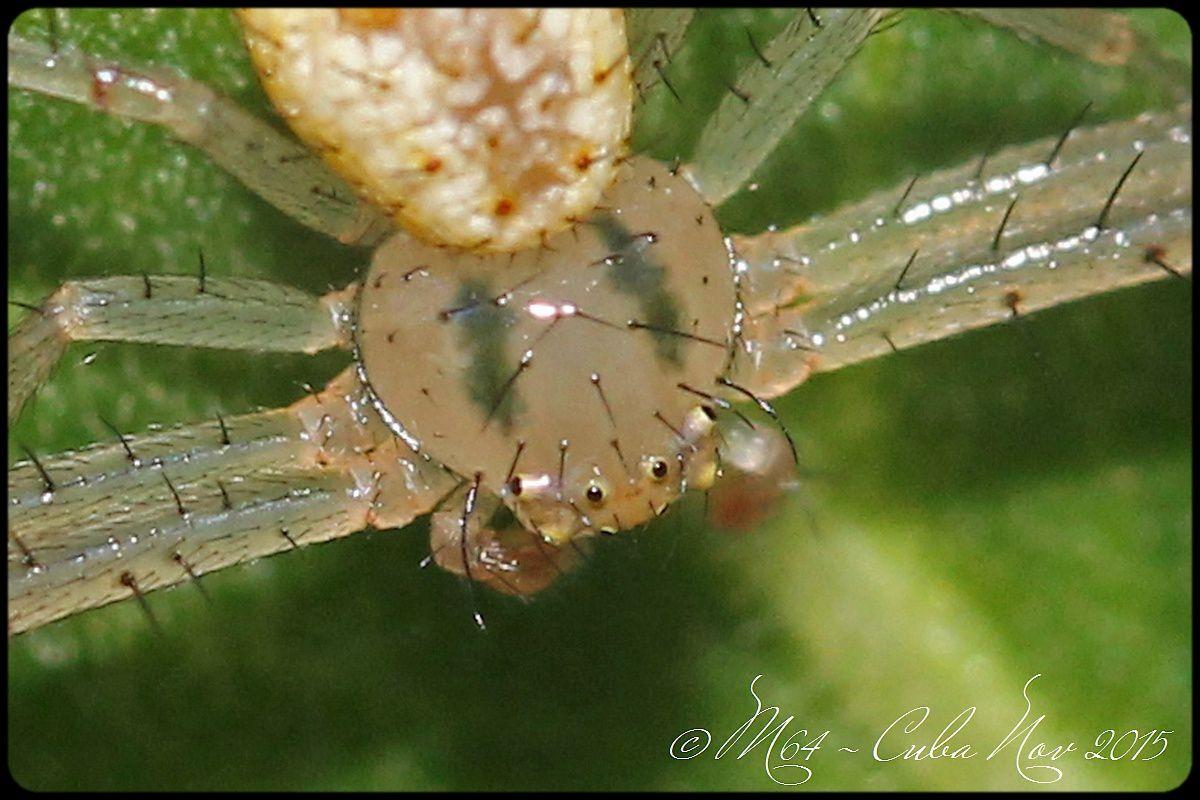 Cuba araignée : Misumenops bellulus