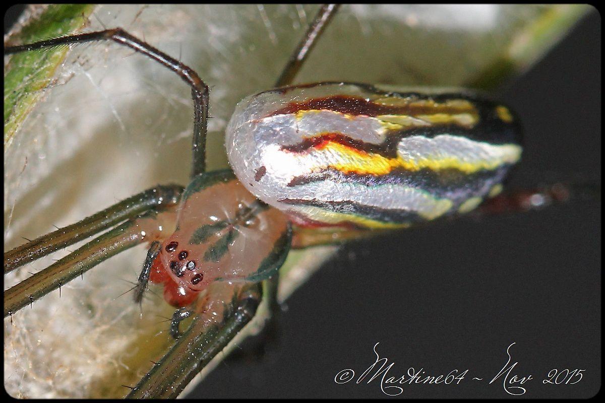 Cuba araignée : Leucauge