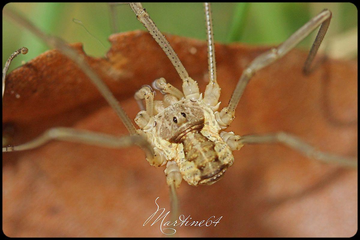 Araignée  Opilions : Le faucheur morio