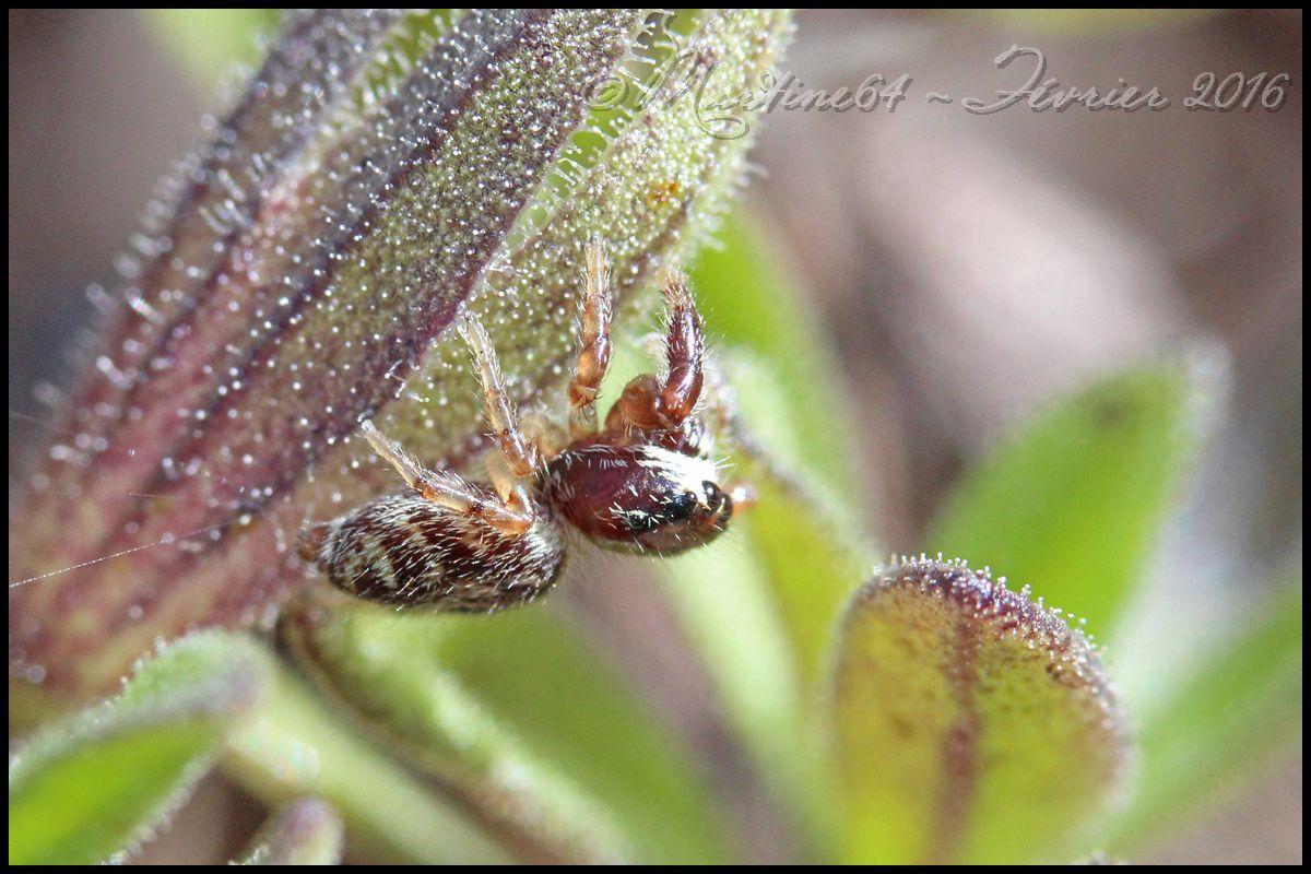 Araignée sauteuse : macaroeris nidicolens