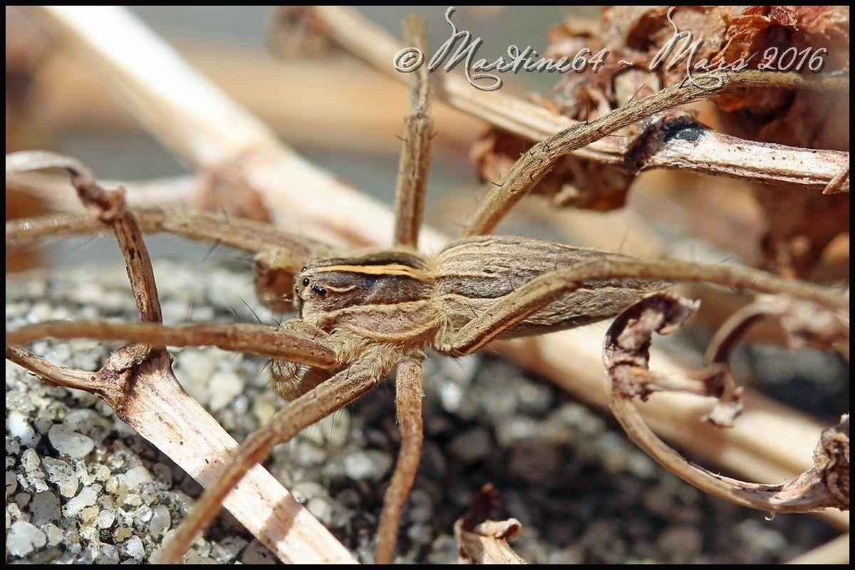 Araignée : Pisaura mirabilis