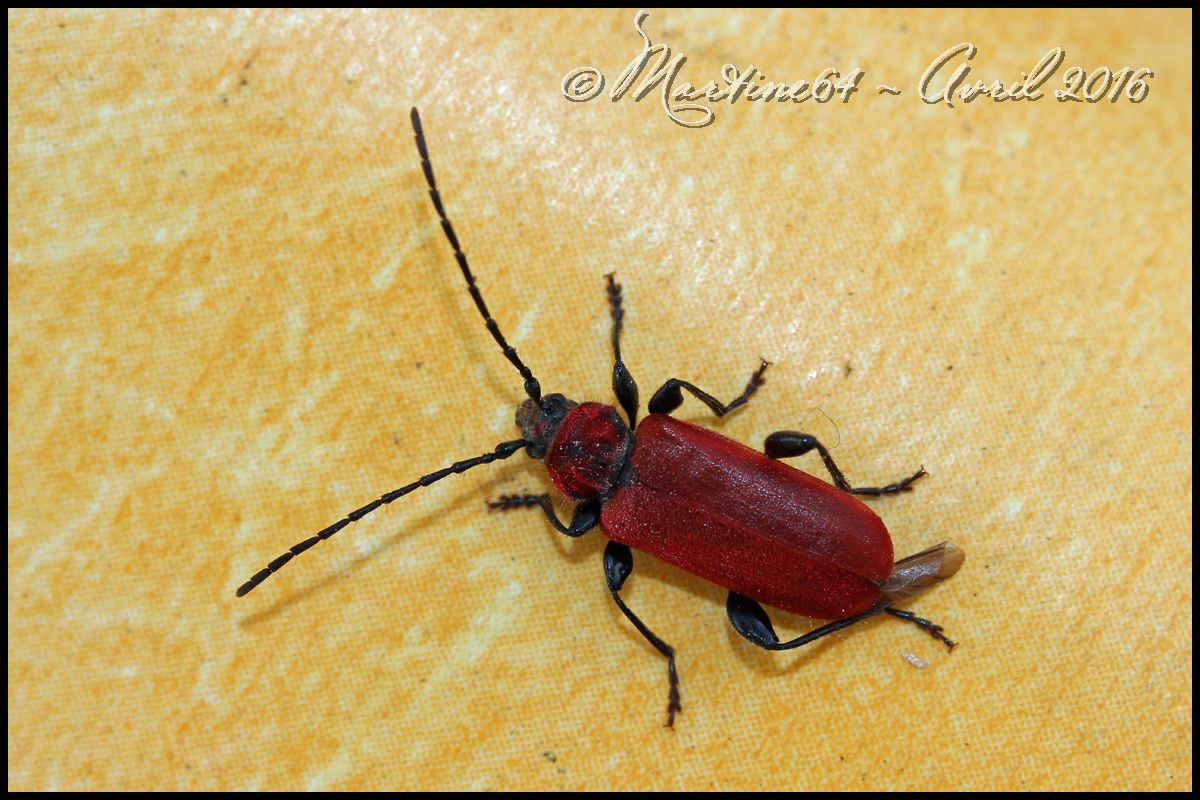 Insecte : Callidie rouge sang