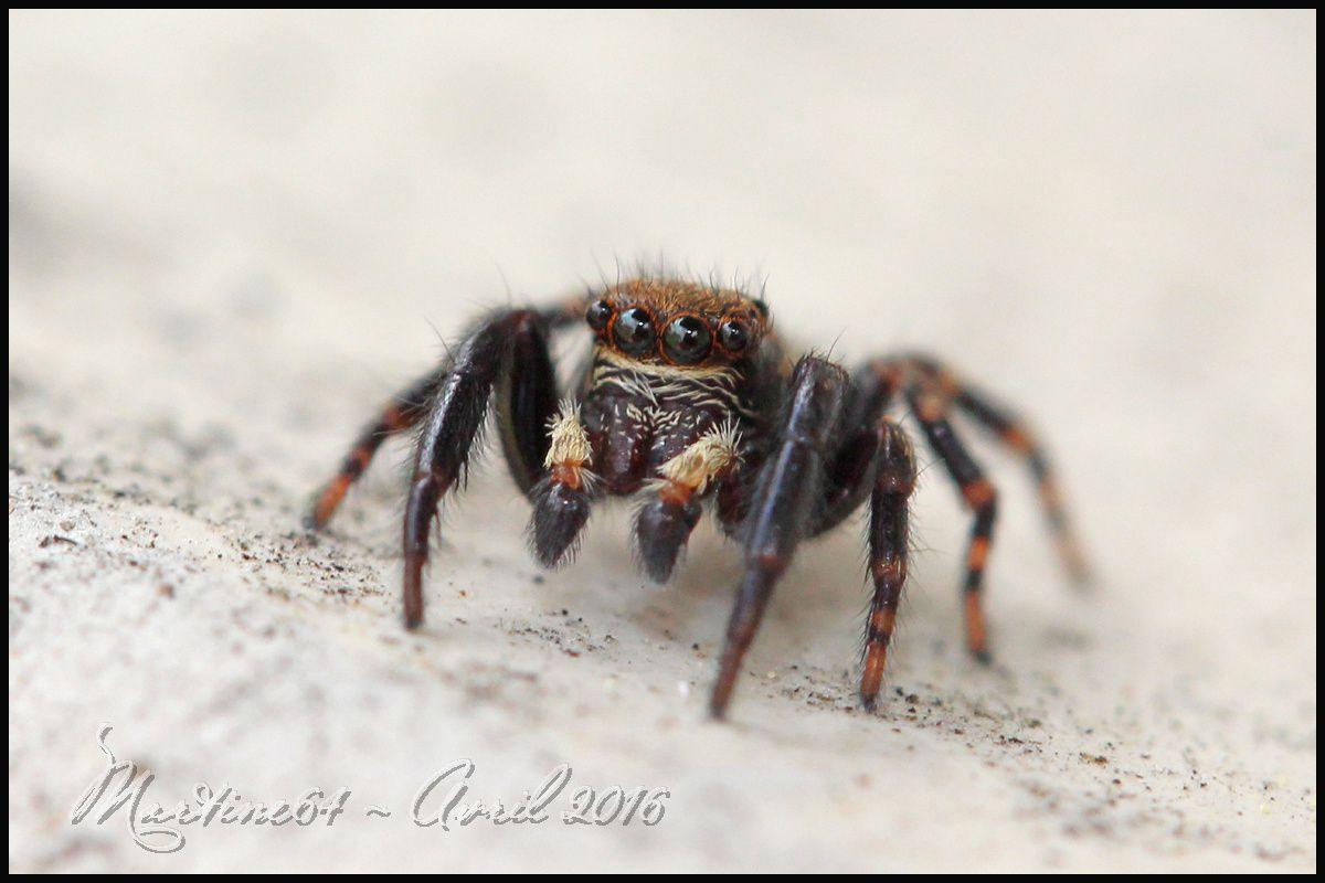 Araignée sauteuse : Pseudeuophrys erratica
