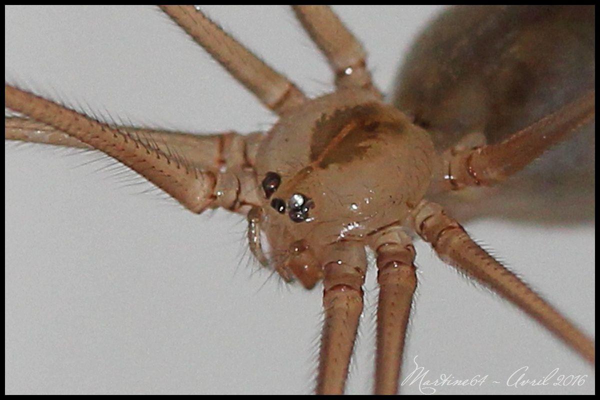 Araignée : Pholcus phalangioides