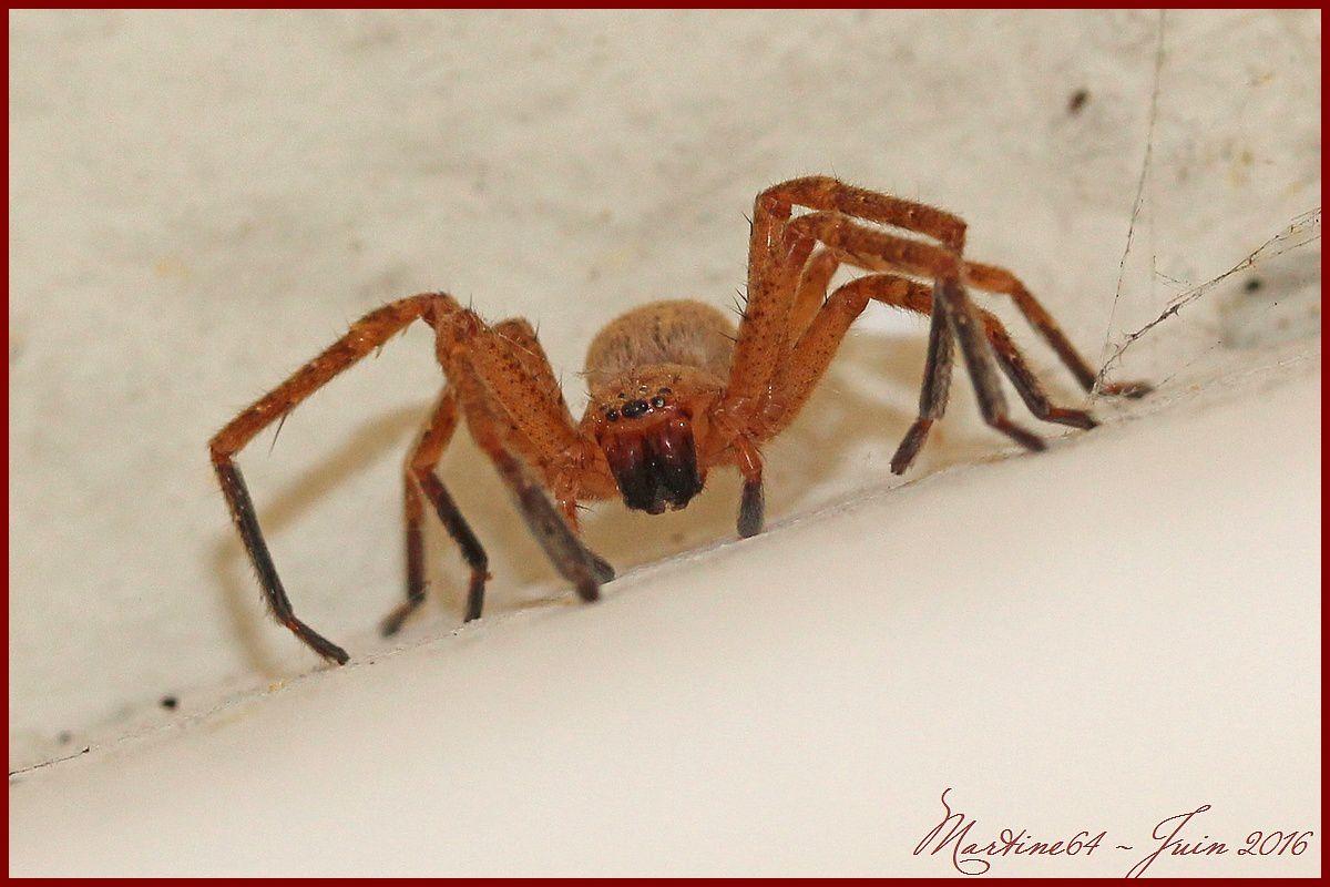Araignée : Olios argelasius
