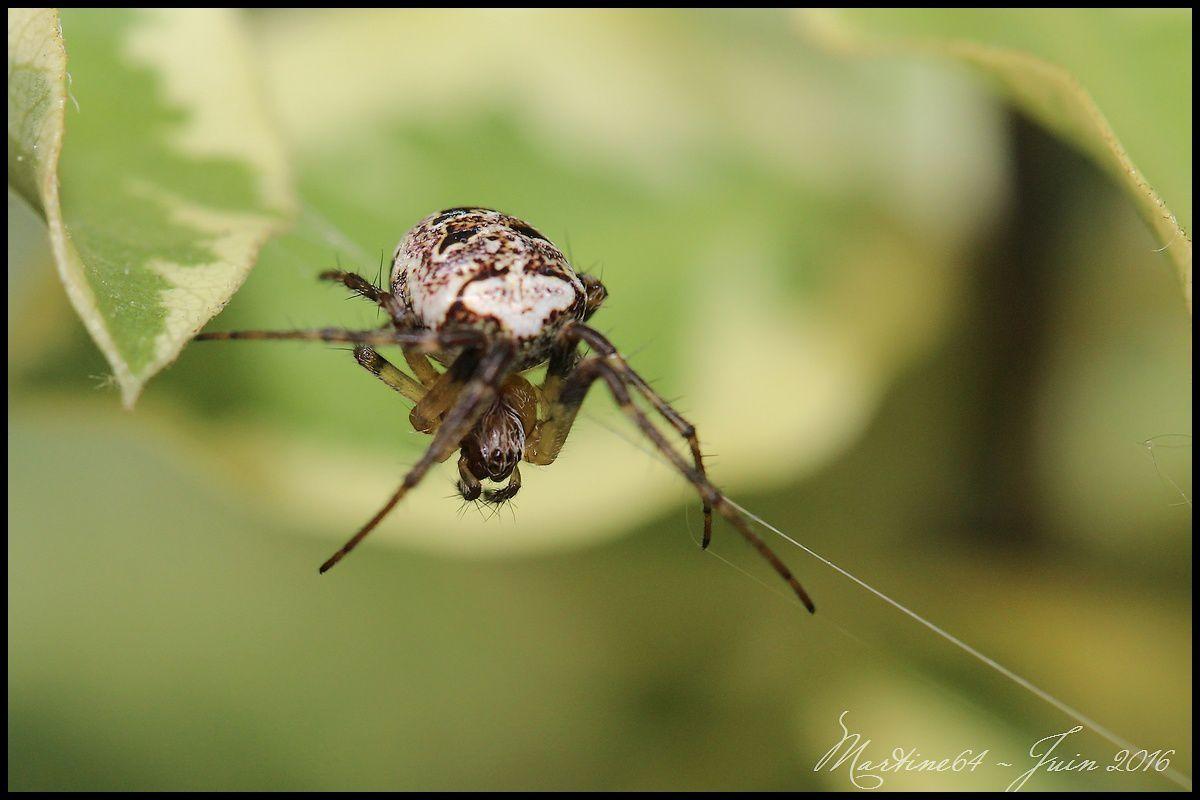 Araignée : Zilla diodia
