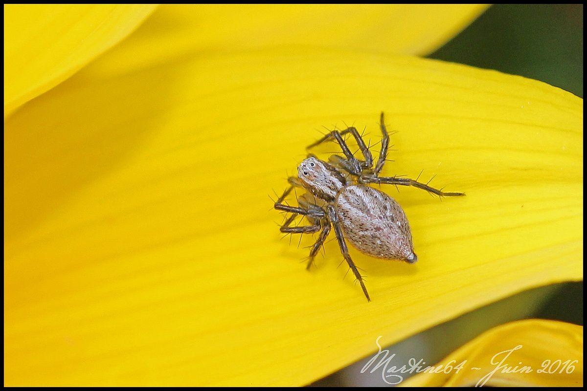 Araignée : Oxyopes