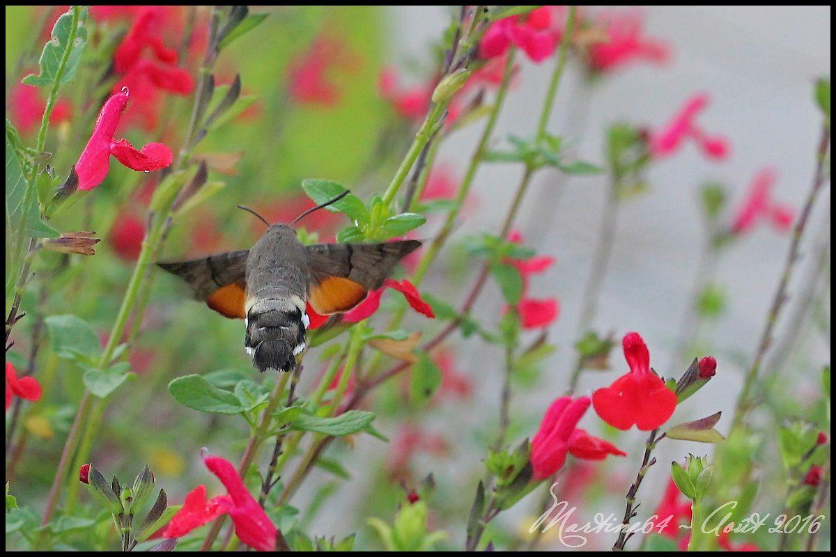 Papillon : Le Moro Sphinx