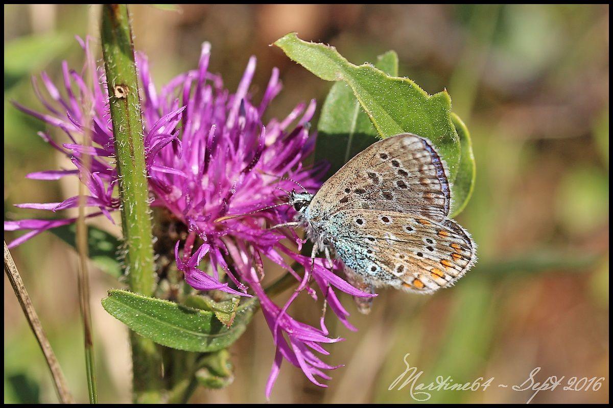Papillon : l'Argus bleu céleste
