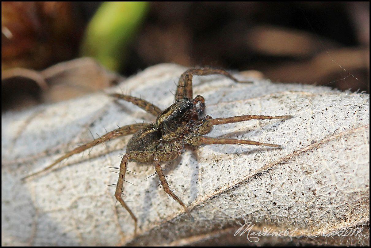 Araignée Lycose : Pardosa sp.