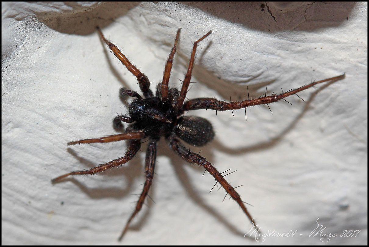 Araignée : Lycosidae
