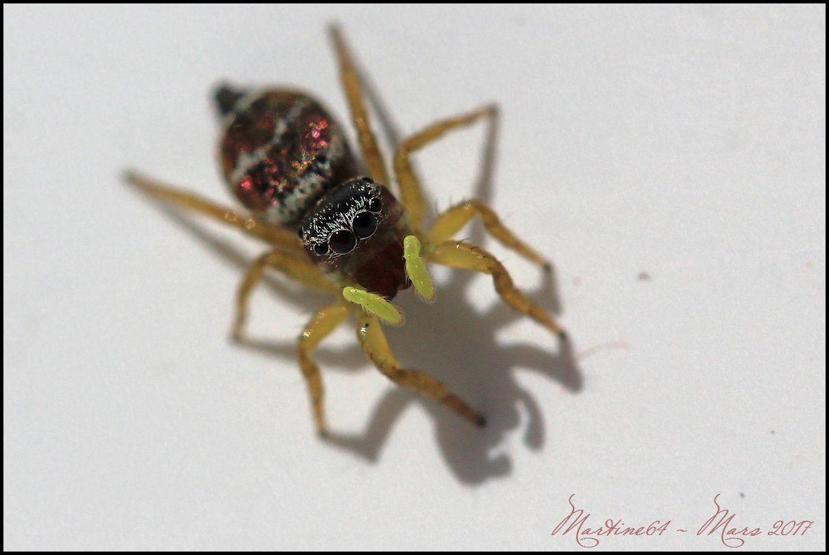 Les araignées sauteuses dans les jardinières !