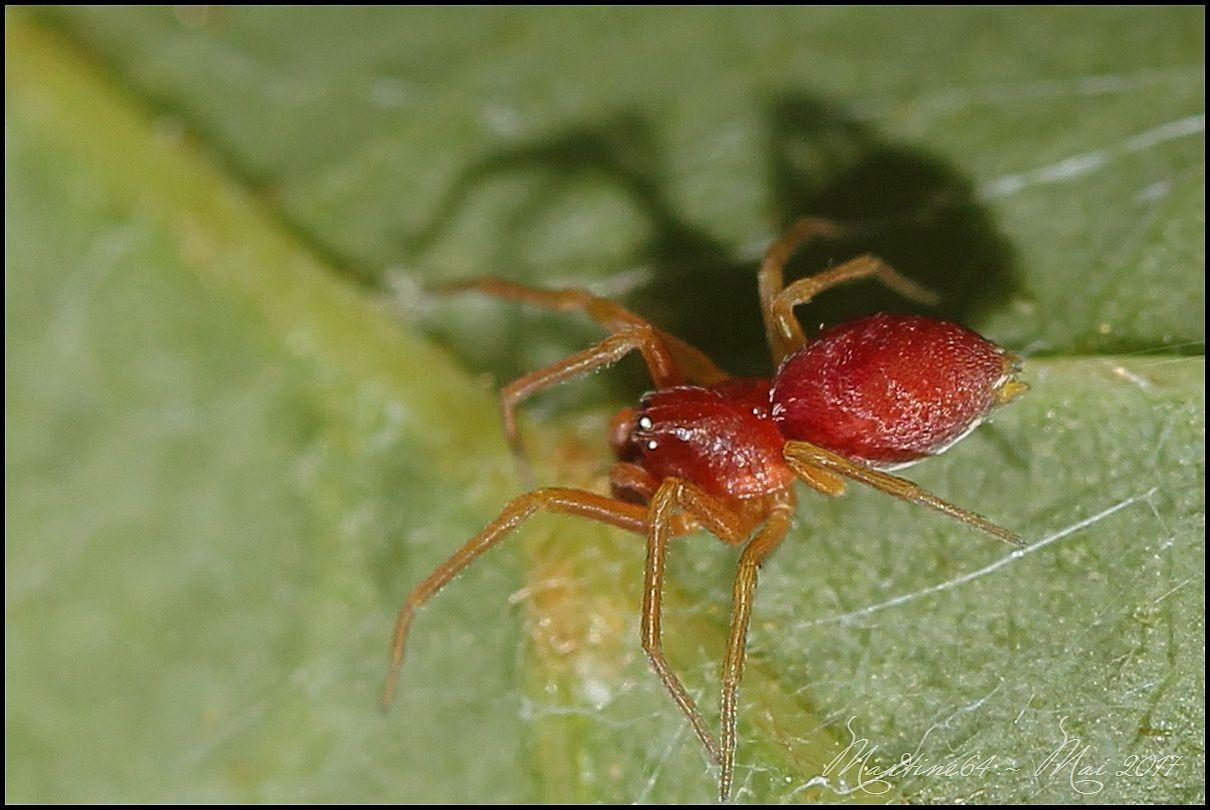 Araignée : Nigma