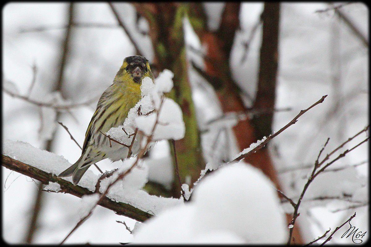 Il neige en Béarn : les oiseaux