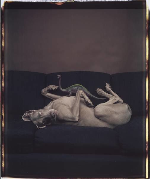 Polaroid par William Wegman, 1987